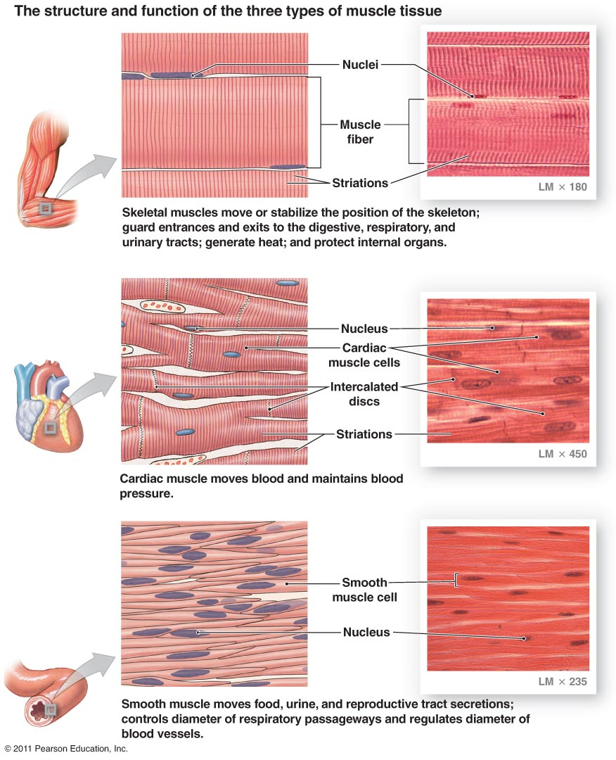876x1080 Skeletal Muscle Drawing Section
