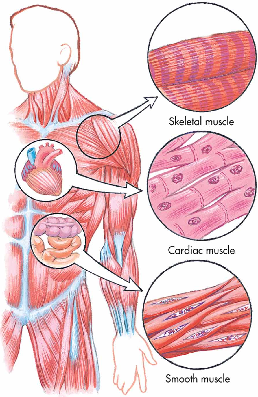 Muscle Tissue Drawing At Free For Personal Use Diagram Showing All Of The Muscles In A Chicken Wing 892x1375 Types Easy To Draw Diagrams Labeled Skeletal