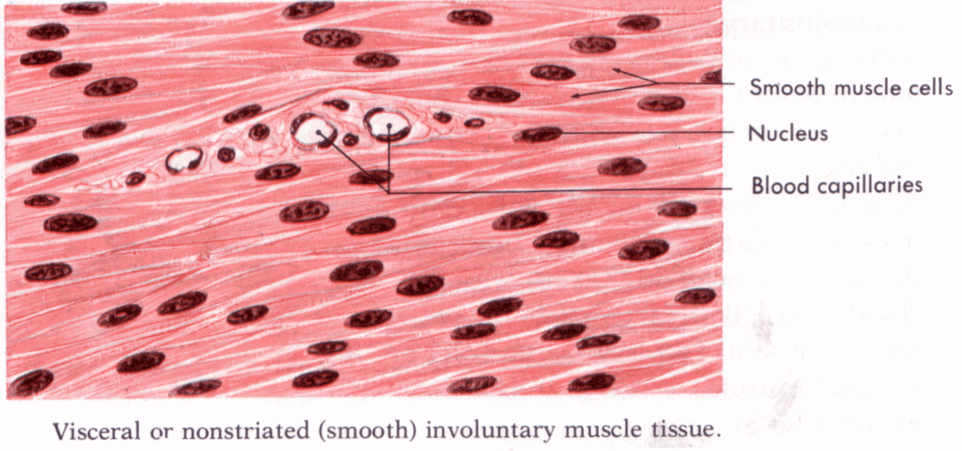 1362x639 Types Of Muscle Tissue Easy To Draw Diagrams Muscle Tissue Diagram
