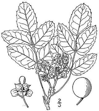 320x359 The Wild Garden Hansen's Northwest Native Plant Database