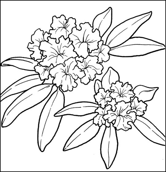 540x559 Collection Of Oregon State Flower Drawing High Quality, Free