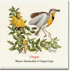 236x236 Collection Of Oregon State Flower Drawing High Quality, Free