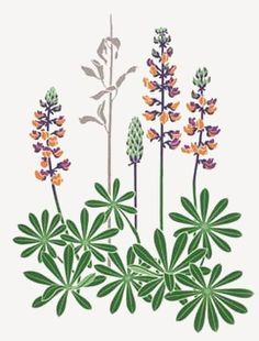 236x310 Lupine Flower Painting Illustration.png Pixels Grow