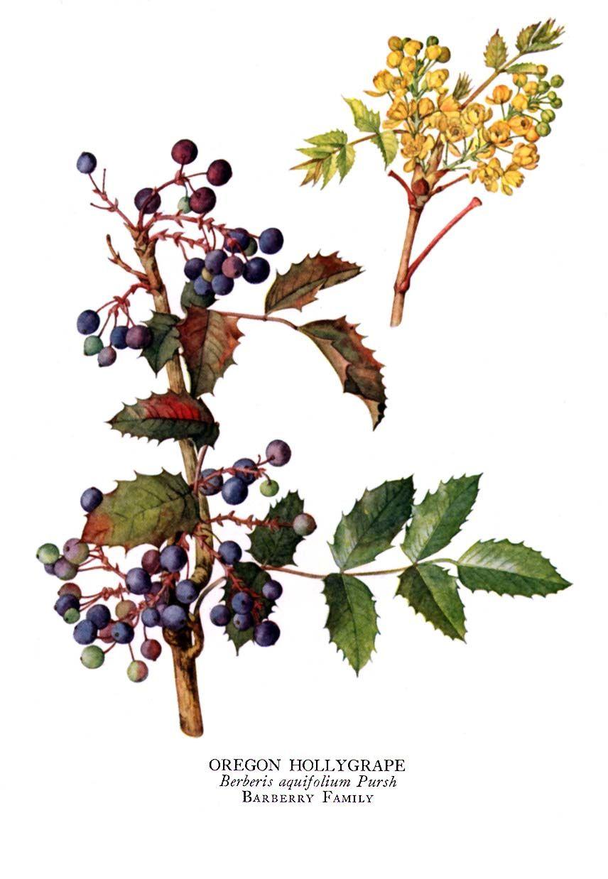 856x1238 Oregon Grape Antimicrobial, High In Berberine. Berberine Produced
