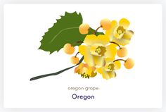 236x159 Oregon Grape Blooming All Over Now Oregon Grape