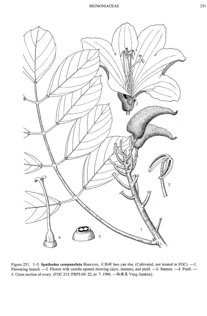 672x1024 Spathodea Campanulata, Line Drawing Filibot.web