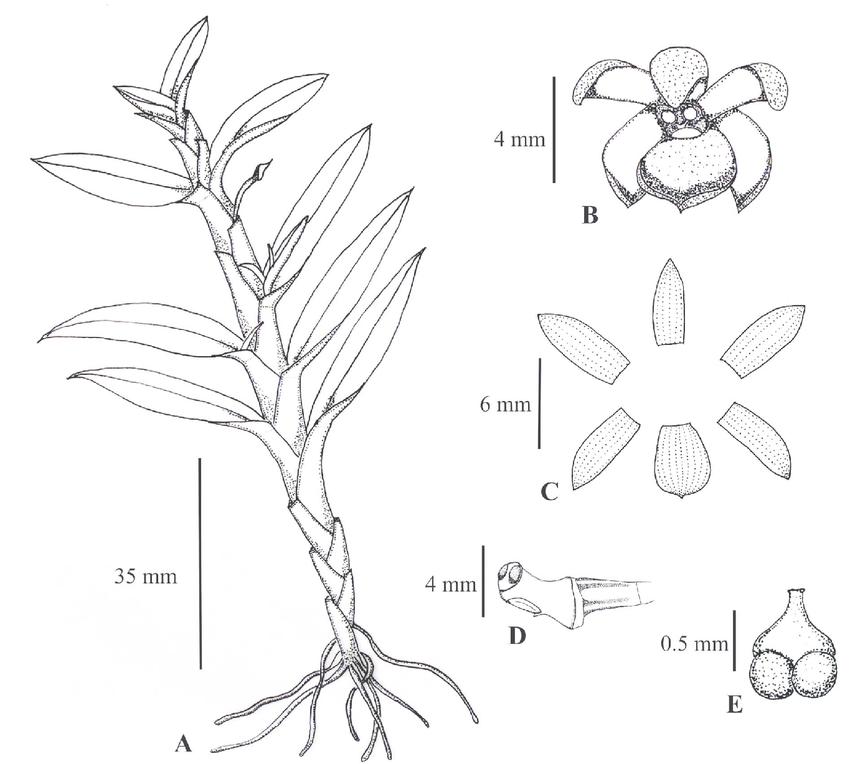 850x764 Dichaea Integrilabia. A. Habit. B. Flower. C. Perianth. D