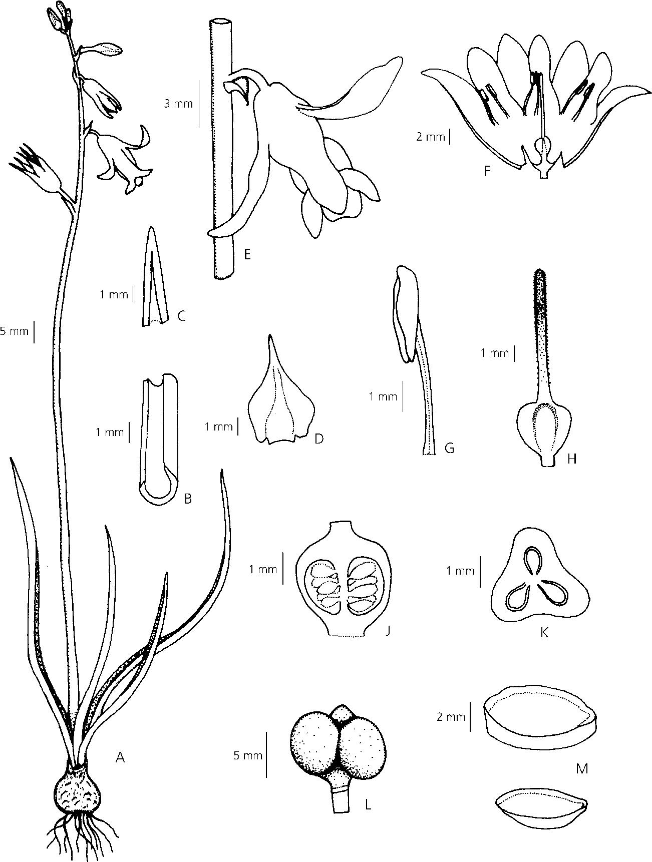 1302x1722 Figure 1 Dipcadi Goaense (Hyacinthaceae), A New Species