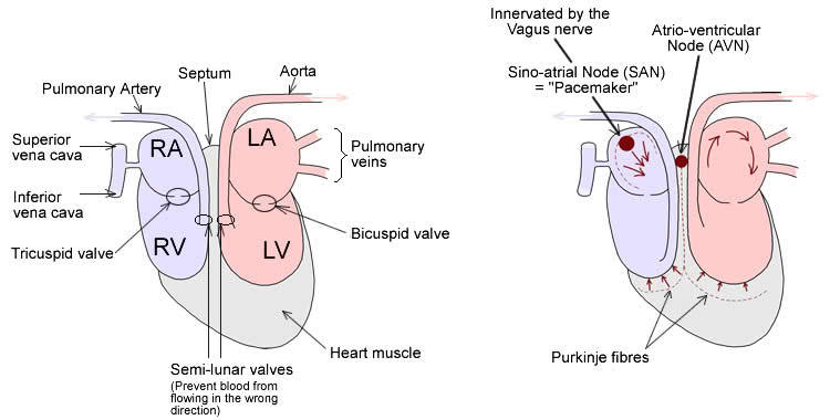 750x380 Invention Cardiac Pacemaker