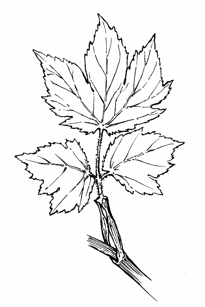 670x1000 Heracleum Maximum (American Cow Parsnip) Go Botany