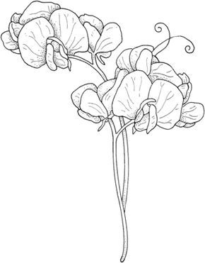 290x371 How To Draw A Sweet Pea Flower Sweet Pea Coloring Page Drawing