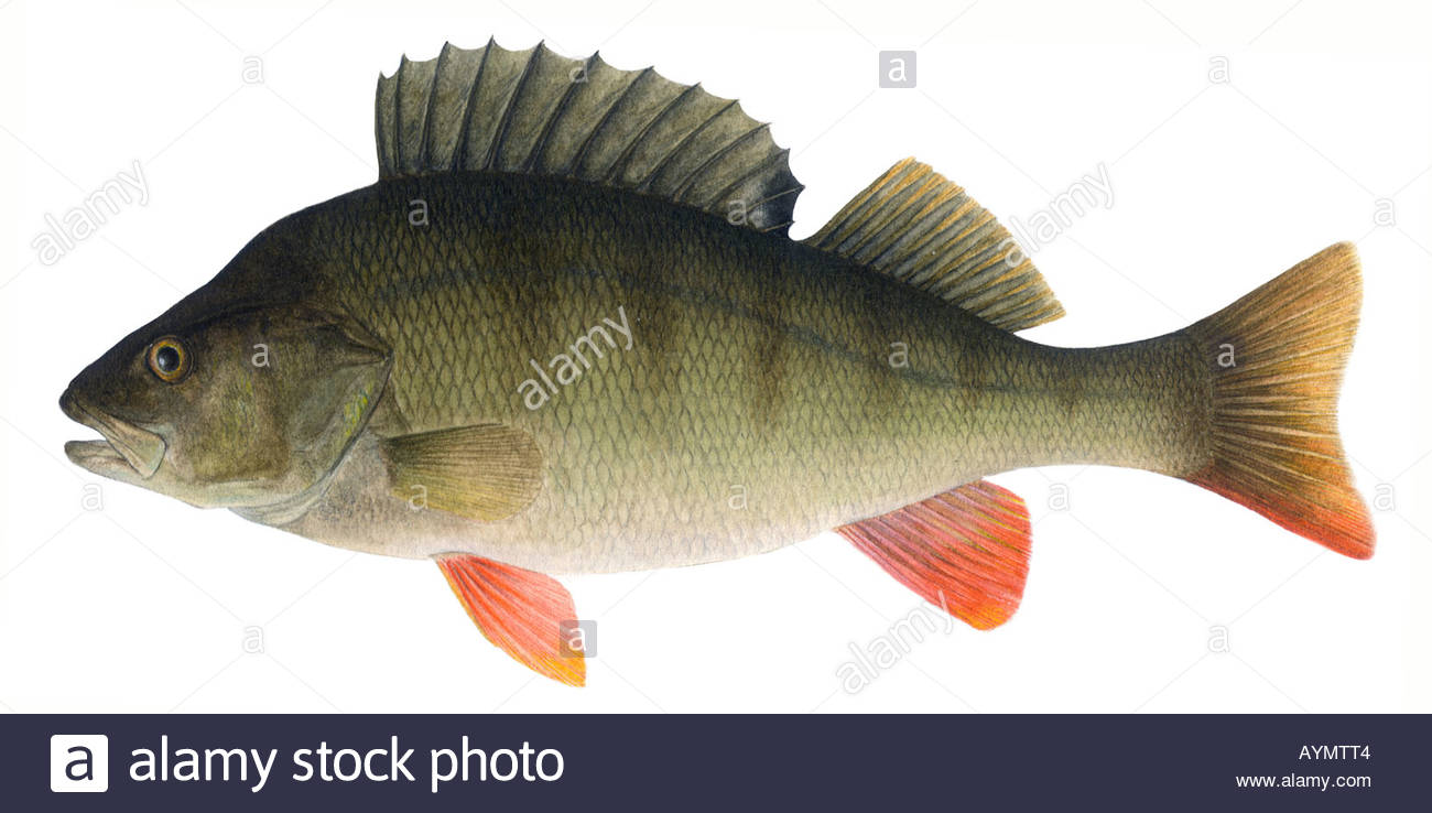 Perch Drawing at GetDrawings.com | Free for personal use Perch ...