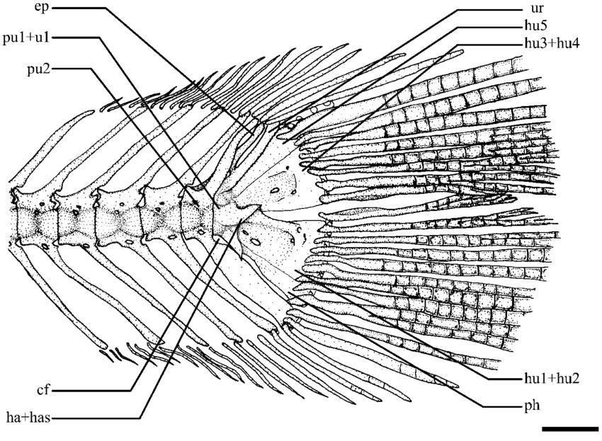 850x623 Caudal Skeleton Of Brachyrhamdia Thayeria, Lirp 10237, 55.2 Mm Sl