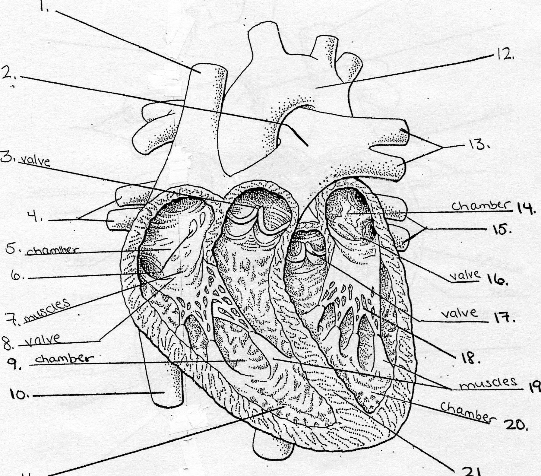 Fetal Pig Heart Diagram Unlabeled - Free Vehicle Wiring Diagrams •