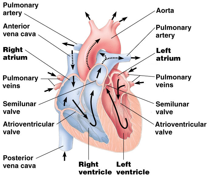Pig heart drawing at getdrawings free for personal use pig 689x581 pig heart diagram good lec cvs rh slideshare net heart diagram ccuart Choice Image