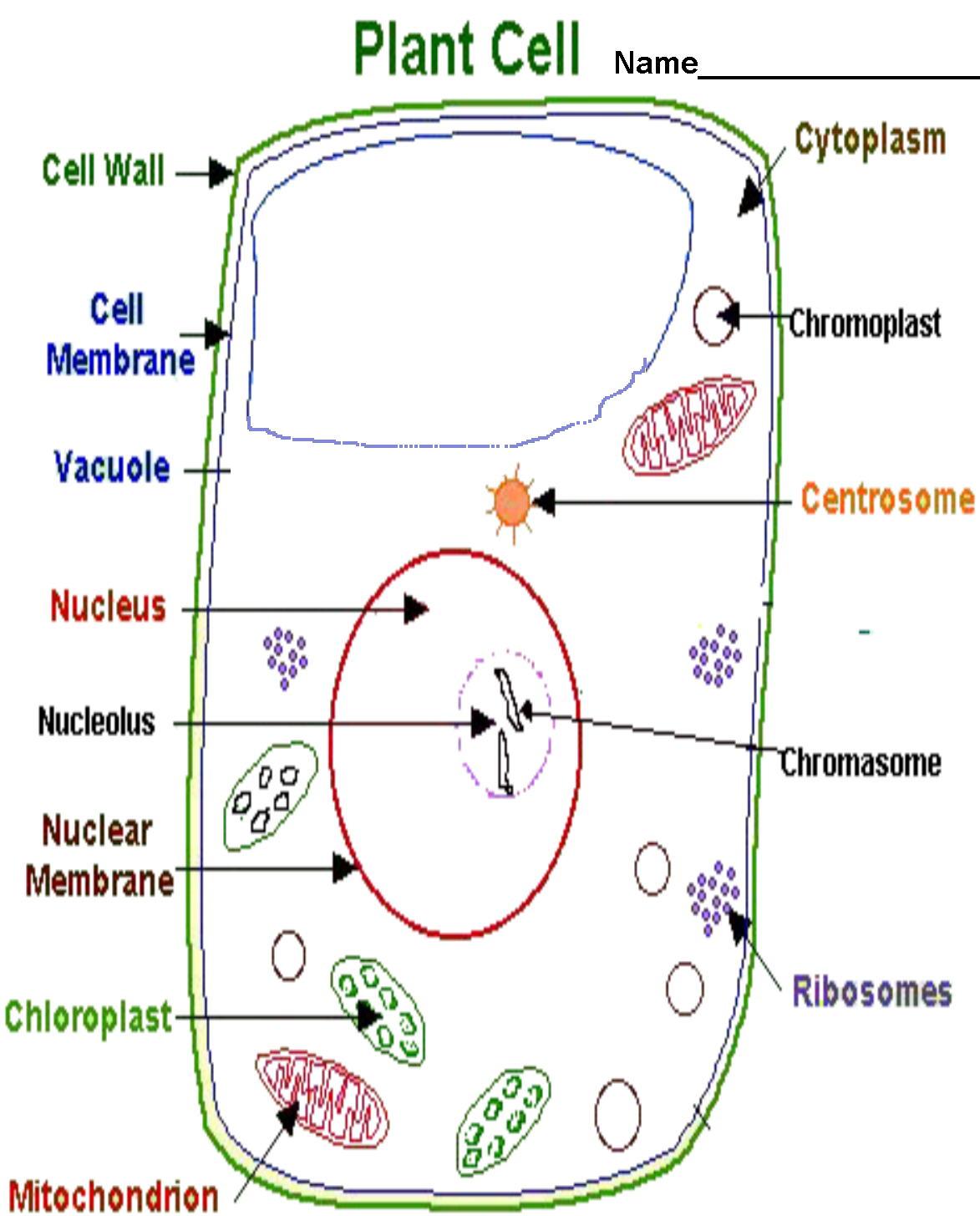 Plant Cell Drawing With Labels At Free For Simple Cells Diagram Basic 1173x1455 Collection Of A High