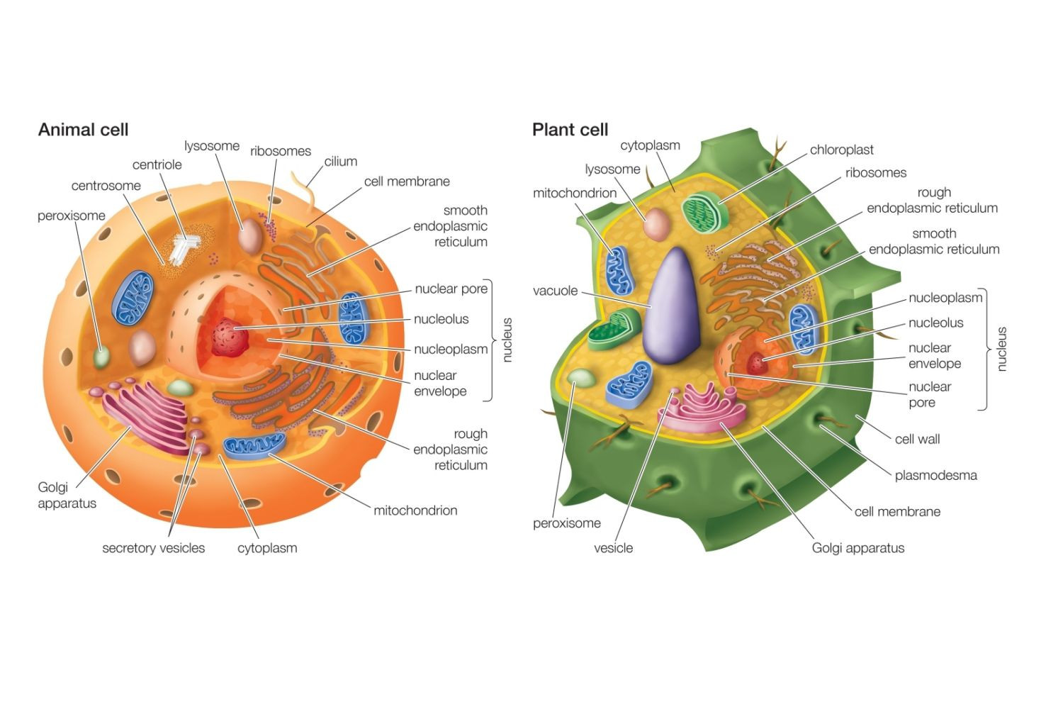 Plant cell drawing with labels at getdrawings free for 1500x1000 draw and label an animal cell plant diagram incredible drawing ccuart Image collections