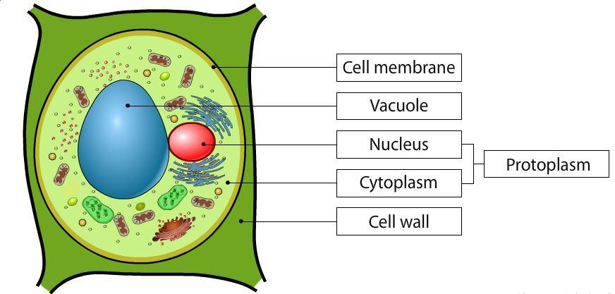 Plant Cell Drawing With Labels at GetDrawings | Free download