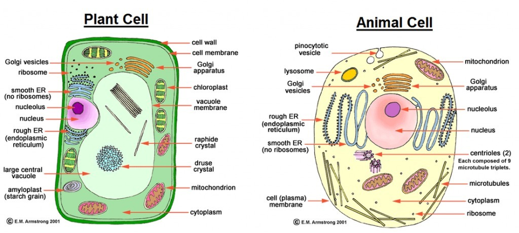 Plant Cell Drawing With Labels At Getdrawings Com Free For