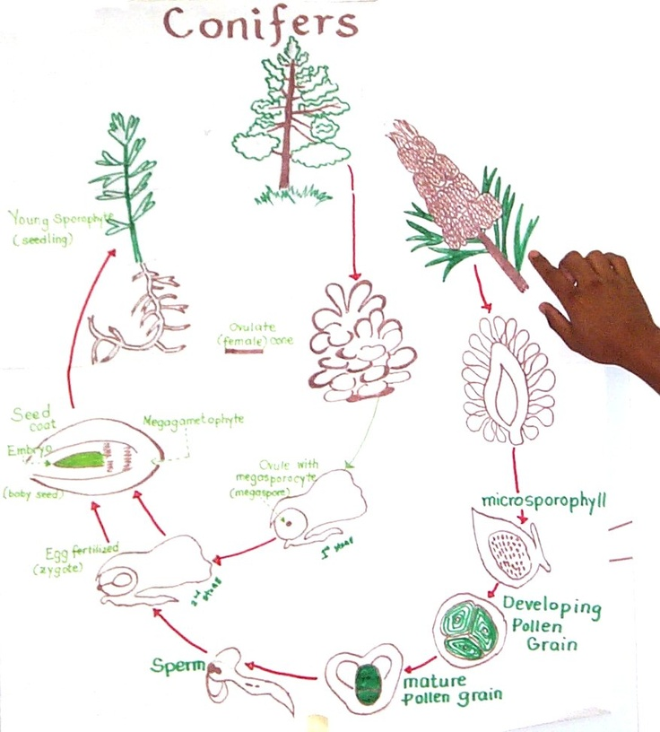 Plant Life Cycle Drawing at GetDrawings | Free download