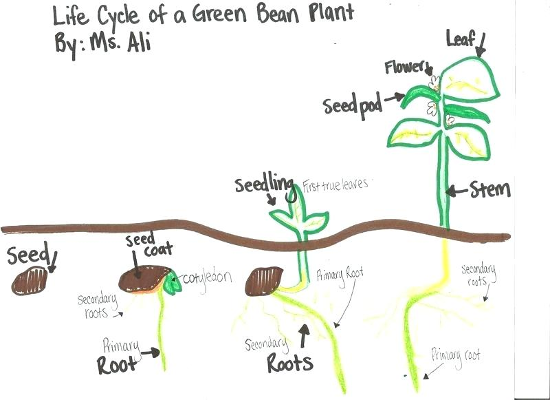 Plant Life Cycle Drawing At Free For