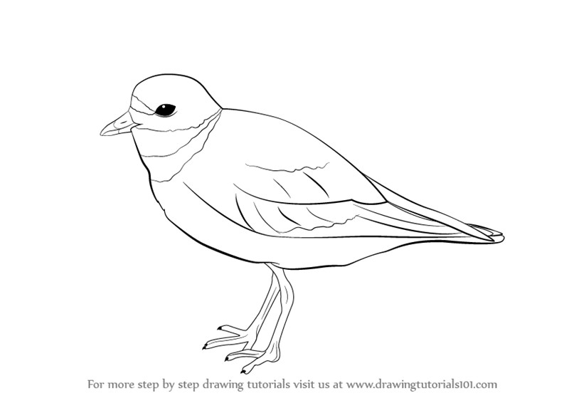 800x566 Learn How To Draw A Ringed Plover (Birds) Step By Step Drawing