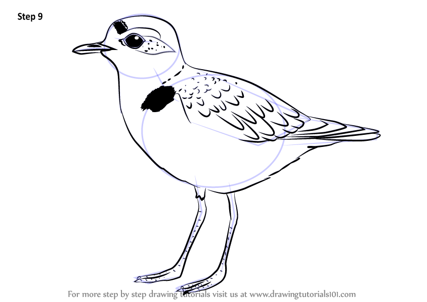 844x598 Learn How To Draw A Snowy Plover (Shorebirds) Step By Step