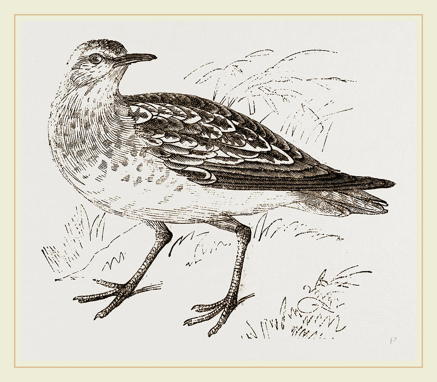 900x785 Golden Plover Drawing By Litz Collection