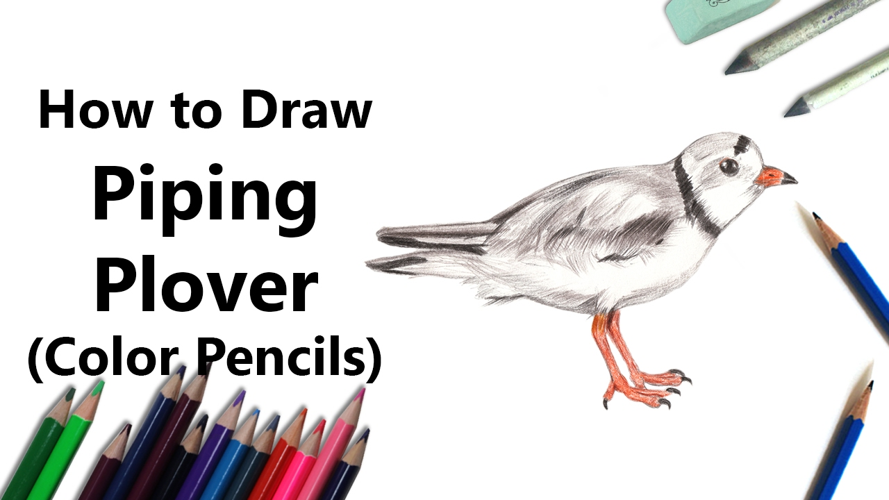 1280x720 How To Draw A Piping Plover With Color Pencils [Time Lapse]