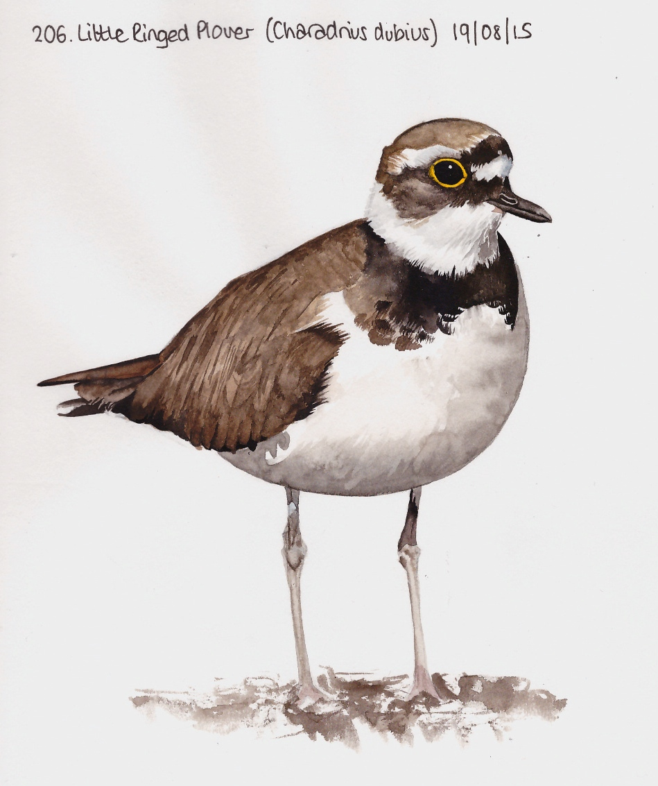 949x1133 Learn.draw.bird. 206. Little Ringed Plover (Charadrius Dubius)