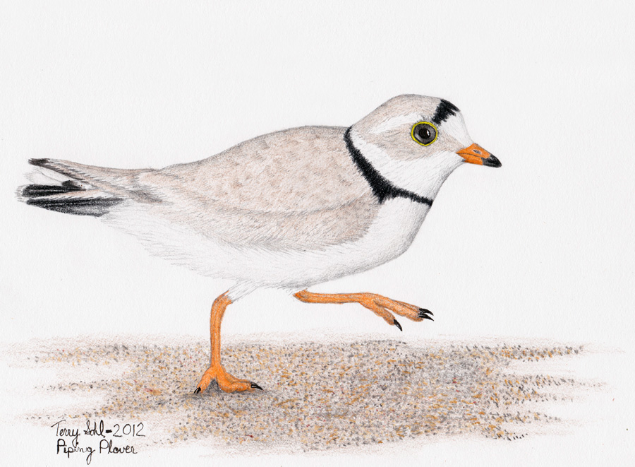 900x661 Piping Plover