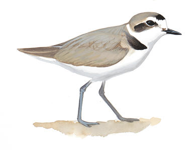 386x300 Piping Plover Audubon Field Guide