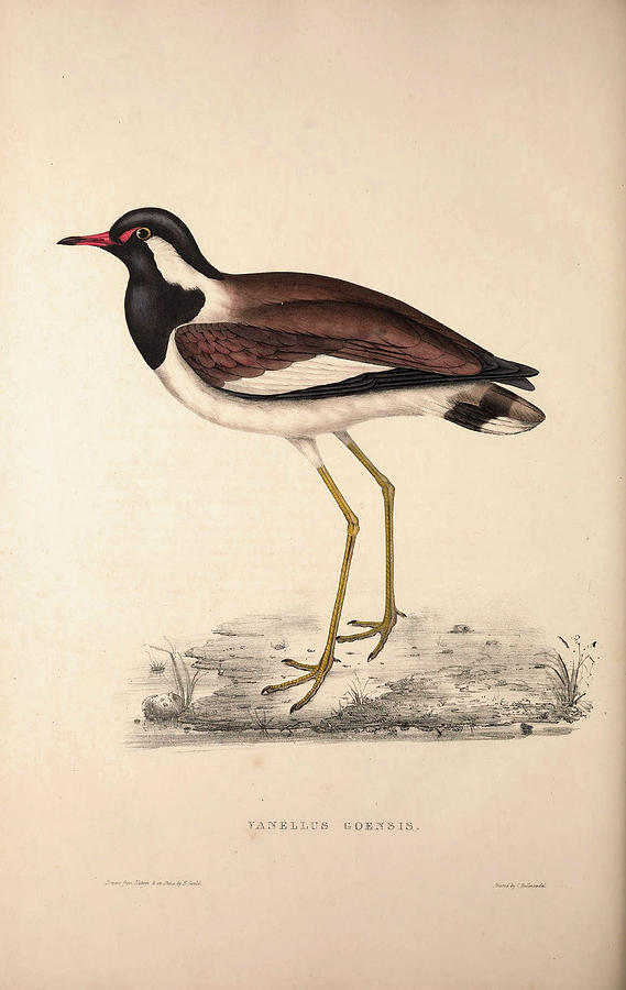 569x900 Vanellus Goensis, Plover Or Northern Lapwing. Birds Drawing By