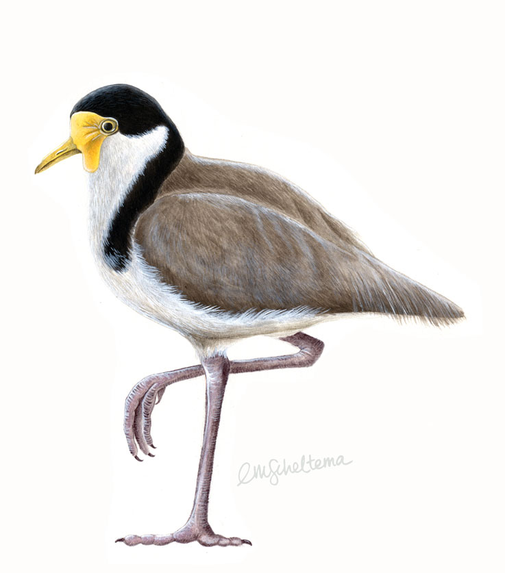 737x837 Spur Winged Plover Paintings Emma Scheltema Illustration
