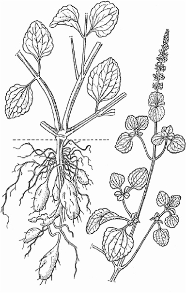 Potato Plant Drawing