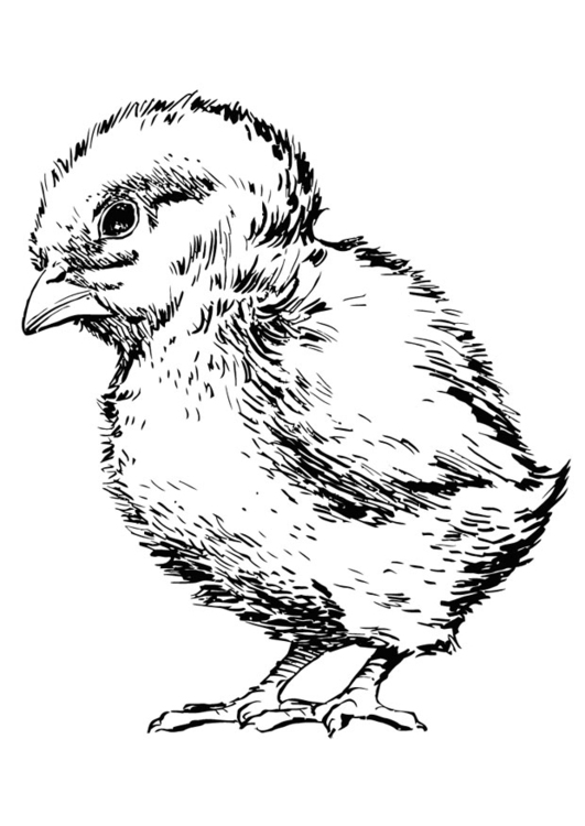 531x750 Coloring Page Baby Chicken