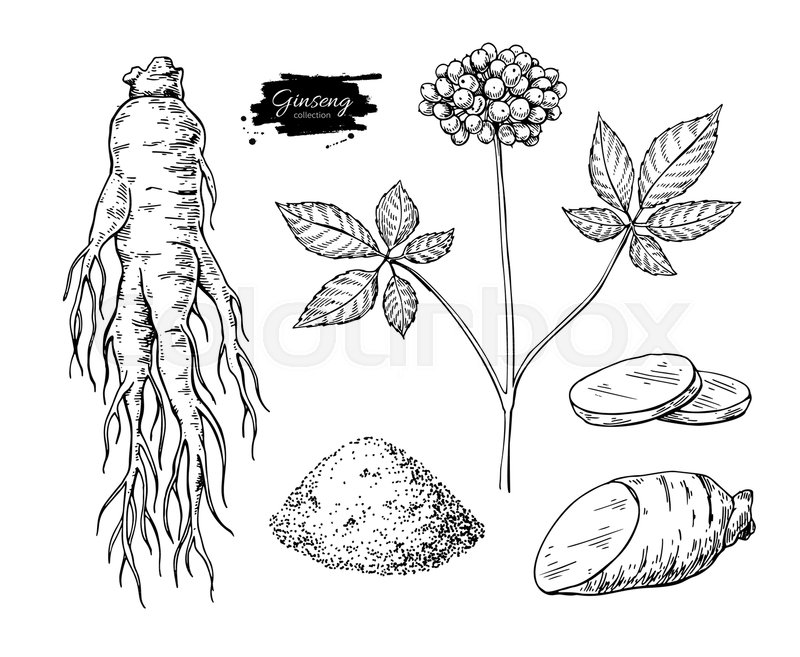 800x657 Ginseng Vector Drawing. Medical Plant Sketch. Engraved Botanical