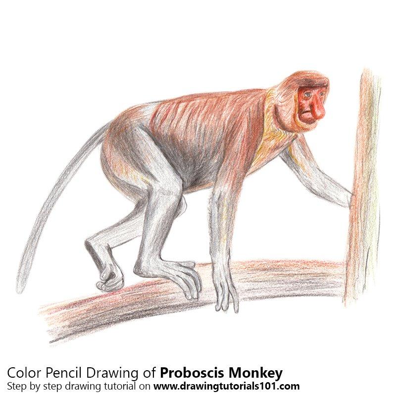800x800 Proboscis Monkey Pencil Drawing