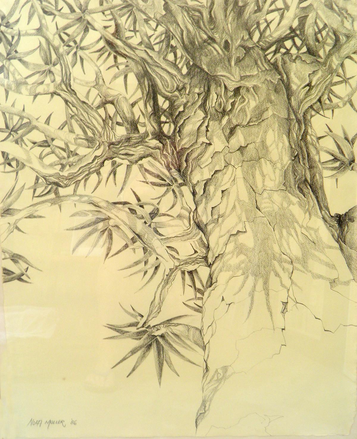 1200x1474 Drawing. Quiver Tree Nola Muller Artist