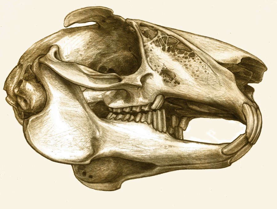 900x678 Rabbit's Skull By Metalomaniac