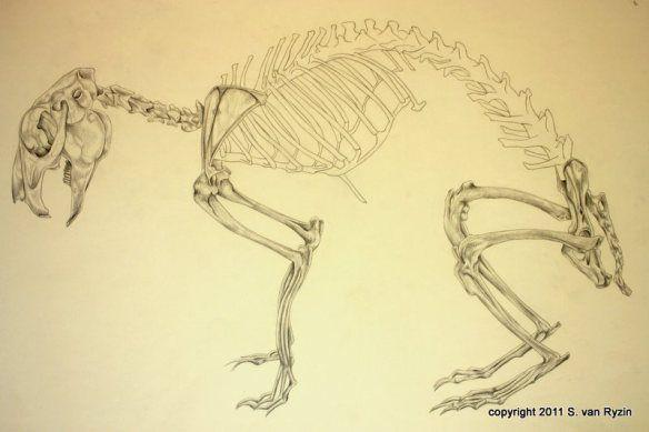 584x389 Rabbit Skeleton Animal's Anatomy Rabbit And Anatomy
