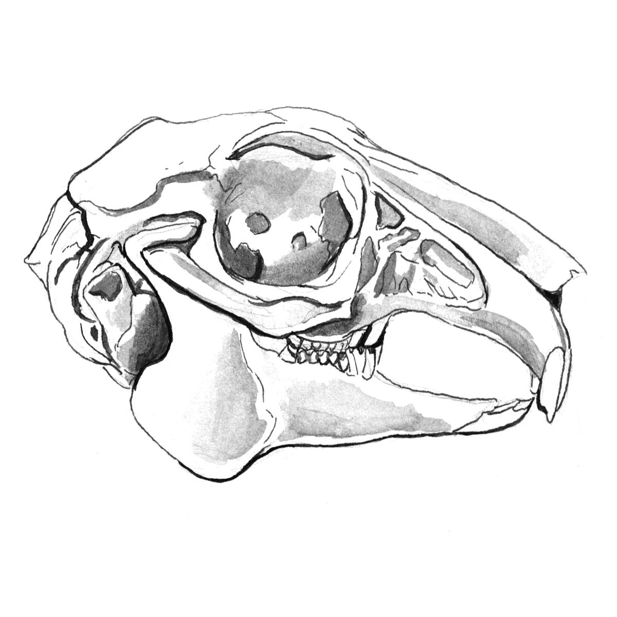 Rabbit Skull Drawing