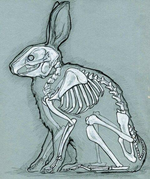 480x572 Anathomy Of A Rabbit. Art Help Anatomy, Animal