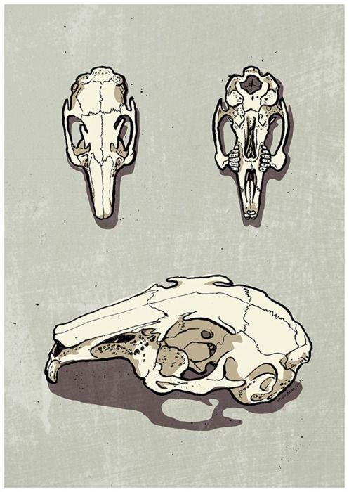 497x700 Rabbit Skull Sciencia Rabbit, Animal Anatomy