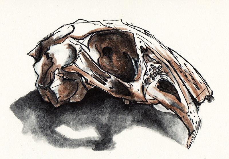 800x557 Rabbit Skull By Anker Illustration
