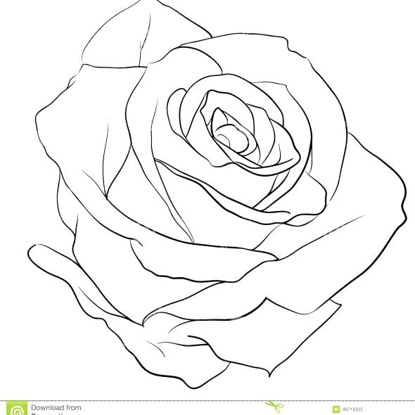 590x590 Rose Outlines Rose Tattoos Outline Google Search Tattoo Tattoo
