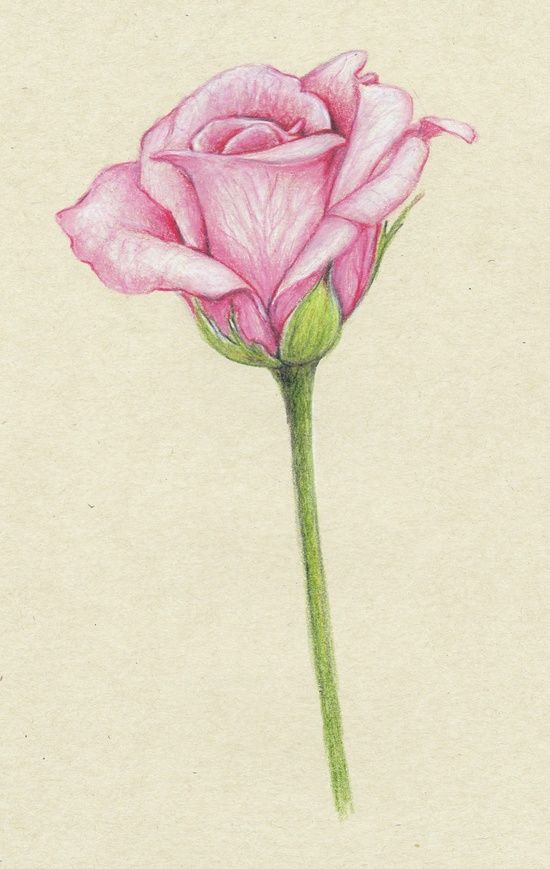 550x869 Gallery Tumblr Rose Drawing,