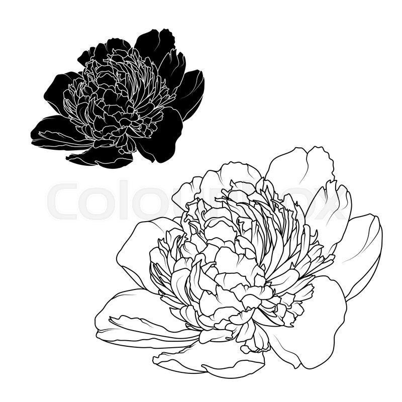 800x800 Peony Rose Flowers Black And White Contrast Isolated Design