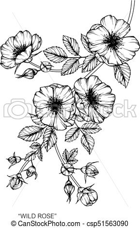 289x470 Wild Rose Flower. Drawing And Sketch With Black And White Line Art.
