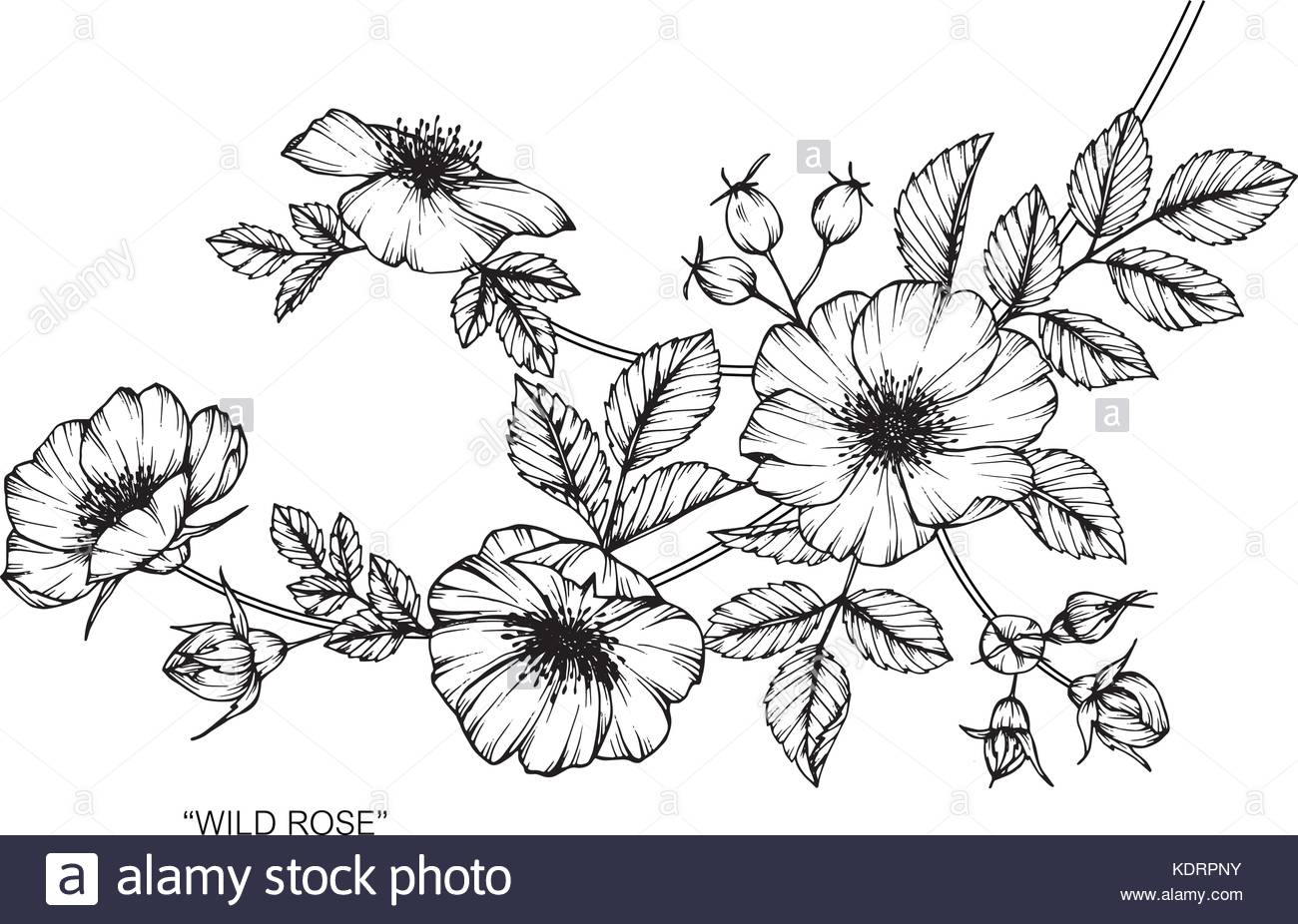 1300x926 Wild Roses Flower Drawing Illustration. Black And White With Line